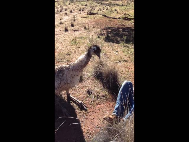 Australian Emu Tries To Get It On With American Tourist